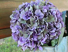 hydrangea-1635541__180 blue hydrangea